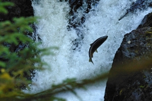 Salmon swimming upstream photo from morgueFile.com