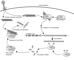 Diagram of the possible mechanism for CRISPR By James atmos (Own work) [CC-BY-SA-3.0 (http://creativecommons.org/licenses/by-sa/3.0) or GFDL (http://www.gnu.org/copyleft/fdl.html)], via Wikimedia Commons