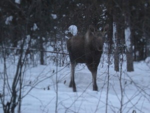 Moose outside my window.