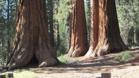 Sequoias of Mariposa Grove. Photo by author.
