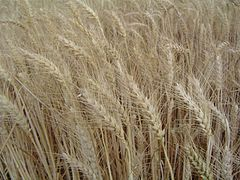 Increases in wheat yields in the 1960s reversed a famine in India and Pakistan, thanks to plant breeding that is still advancing today. Photo via wikimediacommons
