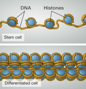 The loose adaptive structure of a stem cell, above. Differentiated cell below. Image from http://learn.genetics.utah.edu/content/