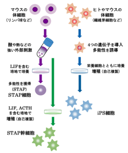 The supposed process for STAP cell generation. Image by S.Nuoe via Wikimedia Commons. https://commons.wikimedia.org/wiki/File:STAP,iPS.png#/media/File:STAP,iPS.png
