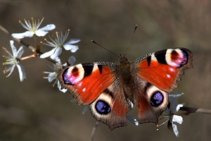 """Peacock butterfly (inachis io) 2"" by Charlesjsharp - Own work, from Sharp Photography, sharpphotography. Licensed under CC BY-SA 3.0 via Wikimedia Commons - https://commons.wikimedia.org/wiki/File:Peacock_butterfly_(inachis_io)_2.jpg#/media/File:Peacock_butterfly_(inachis_io)_2.jpg"